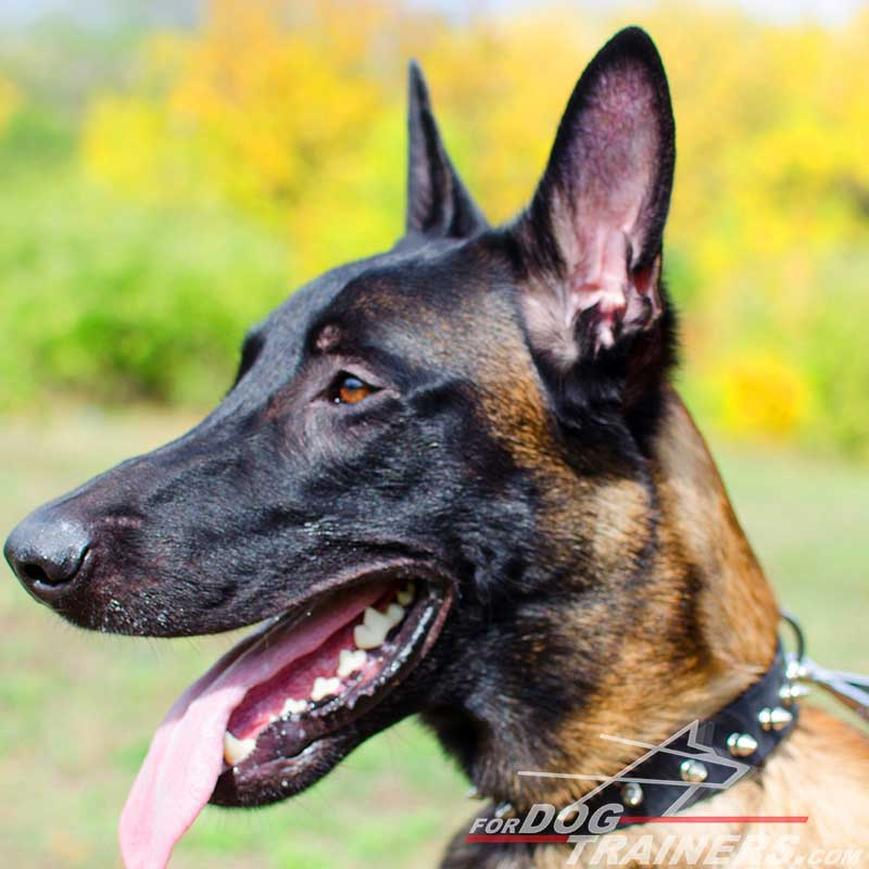 Leather Belgian Malinois Collar With One Row of Spikes - Click Image to Close