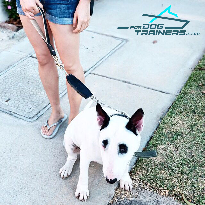 Bull Terrier Wearing Leather Short Dog Lead Pull Tab - Click Image to Close