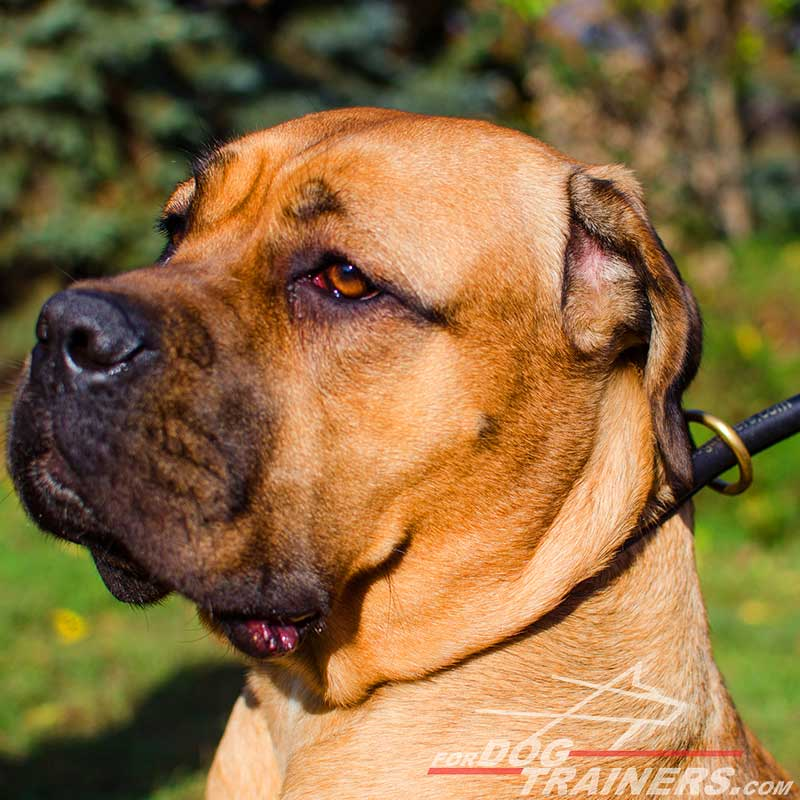 Round Leather Cane Corso Choke Collar for Regular Training - Click Image to Close
