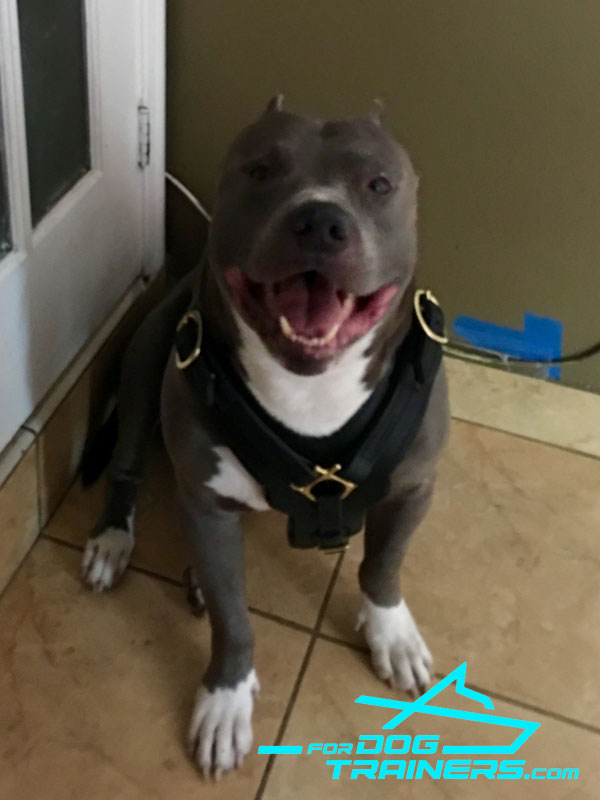 *Axel Happy to Wear Exclusive Leather Pitbull Harness - Click Image to Close