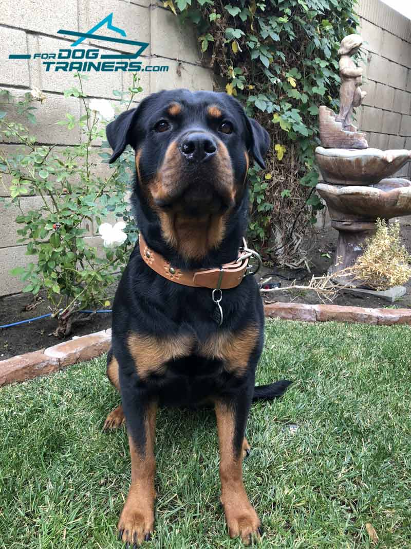 Gorgeous Rotty Demonstrates Leather Dog Collar of Best Quality - Click Image to Close