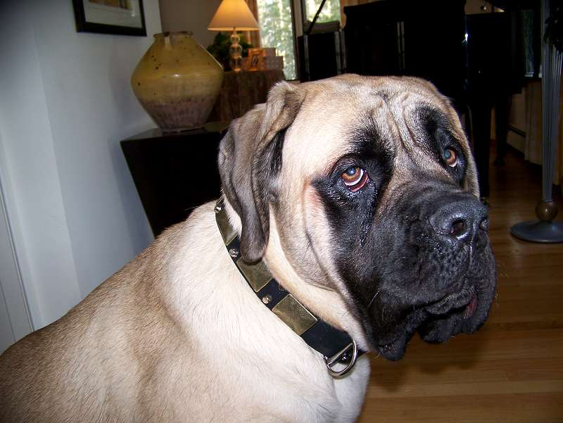 Lovely Bullmastiff wearing our exclusive Gorgeous War Dog Leather Dog Collar - C85 (old brass massive plates +2 nickel pyramids) - Click Image to Close