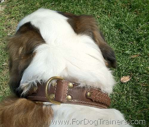 Saint Bernard Loxley  looking Gorgeous in 2 Ply Leather Dog Collar
