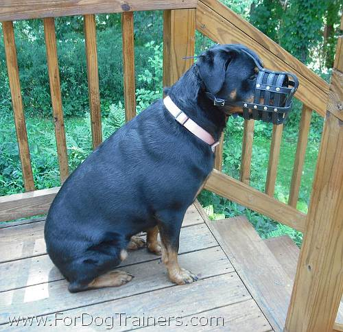 Rottweiler Madison happy with her everyday super ventilation muzzle - M41