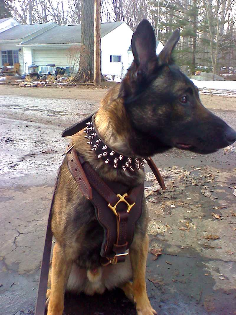 Super Spiked Leather Dog Collar for Belgian Malinois and Other Medium/Large Breed Dogs - Click Image to Close