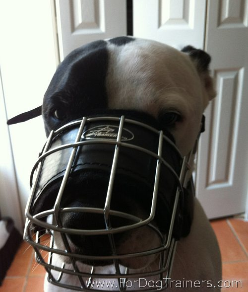 Pitbull Max looking good in wire Dog Muzzle