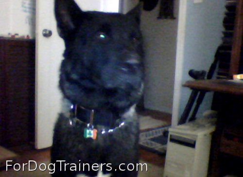 Nylon Dog Collar with conchos is cool on this dog