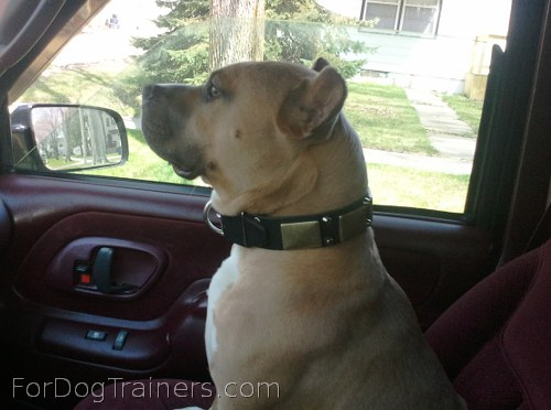 Buddy looks awesome in War Dog Leather Collar