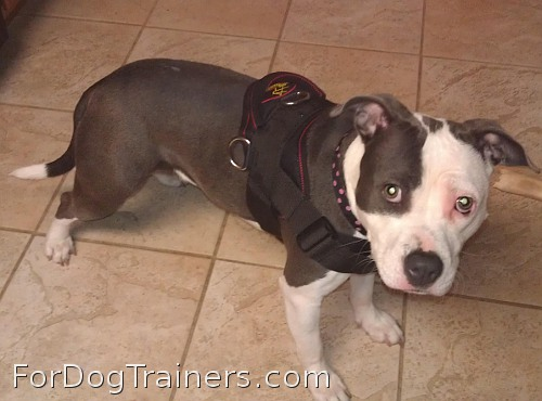 *Missy looks cute wearing Designed to fit Pitbull - H6 All Weather dog harness for tracking / pulling - Click Image to Close