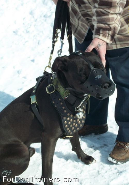 Pitbull from Canada is superb in Studded leather dog harness- H15 - Click Image to Close