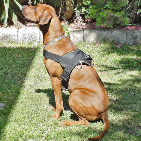 Rhodesian Ridgeback Nylon dog harness pulling training (multi-purpose harness) - Click Image to Close