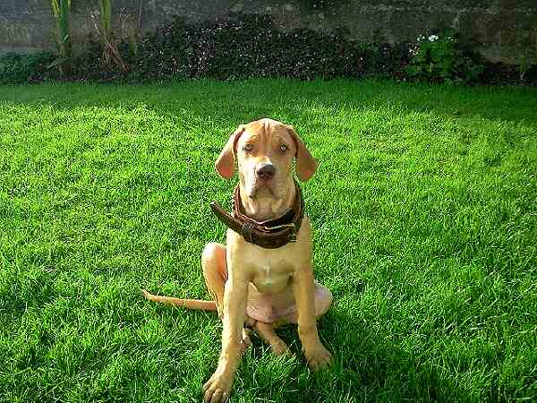 *Riley wearing our exclusive 2 ply leather agitation dog collar-C33NH - Click Image to Close