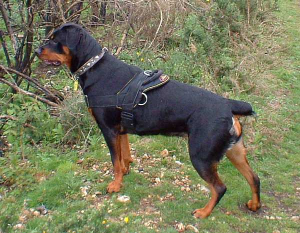 All Weather Dog Harness For Tracking Pulling Designed To