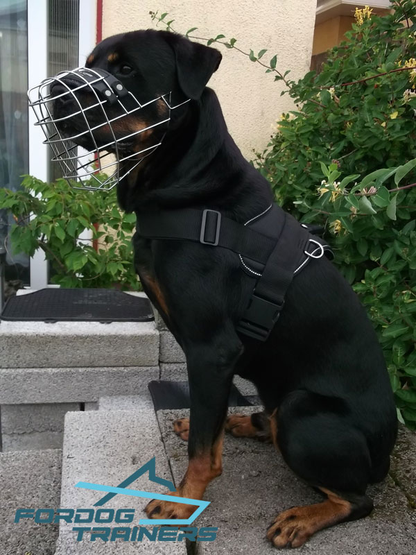 Rottie Strutting in His Wire Cage Muzzle- Lightweight & Comfortable Construction - Click Image to Close