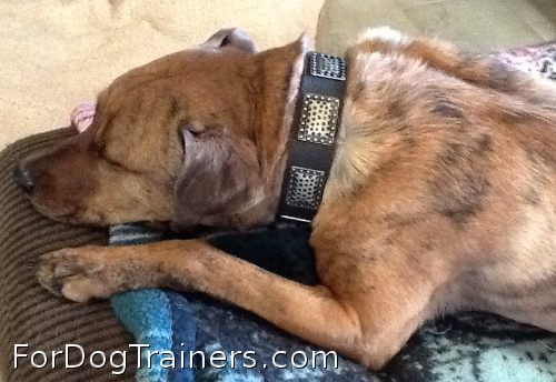 New Gorgeous War Dog Leather Dog Collar is Rusty's