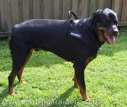 Rottweiler Savage wearing his new all weather harness - H17