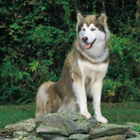 siberian husky wire basket dog muzzles size chart siberian husky