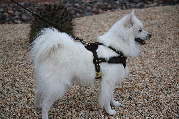 American Eskimo Dog Tracking / Pulling / Agitation Training Leather Dog Harness - H5 - Click Image to Close