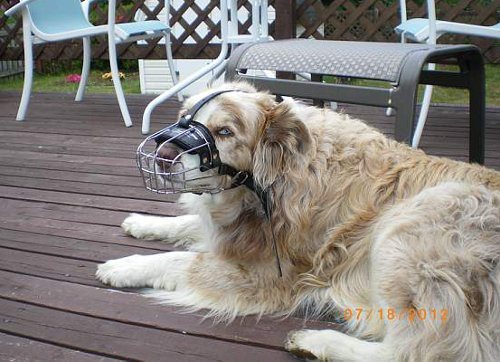 Sydney and his muzzle