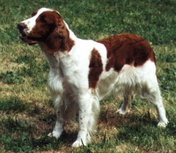 Welsh Springer Spaniel Wire Basket Dog Muzzles Size Chart - Welsh Springer Spaniel muzzle - Click Image to Close