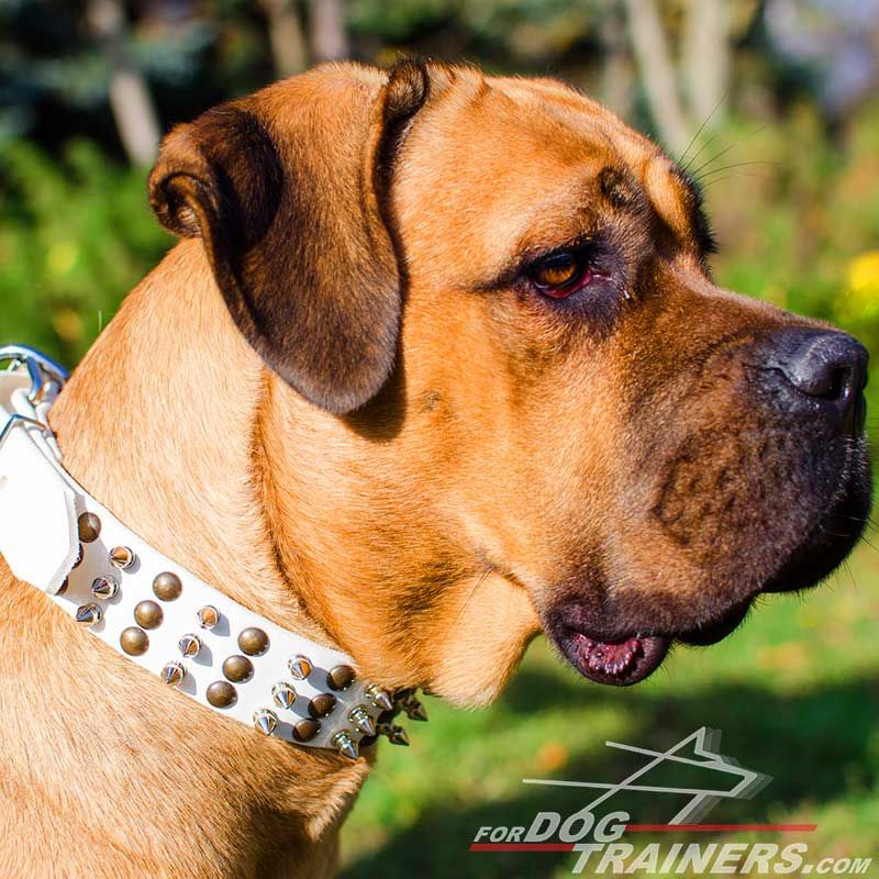White Leather Cane Corso Collar Beautifully Spiked and Studded - Click Image to Close