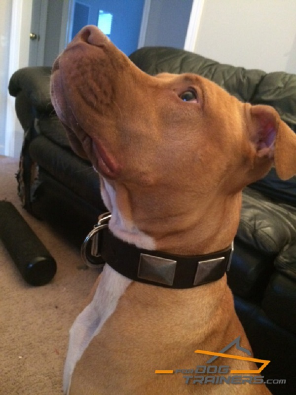 Pitbull is fantastic in this Custom Made Dog Collar with Massive Plates - Click Image to Close