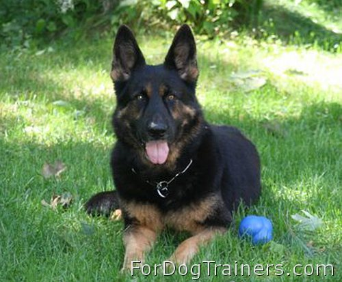 German Shepherd  Xander enjoys wearing Stainless Steel Fur Saver