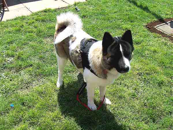 All-weather nylon Akita harness