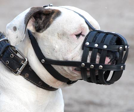 Well Ventilated Adjustable Leather Muzzle on American Bulldog