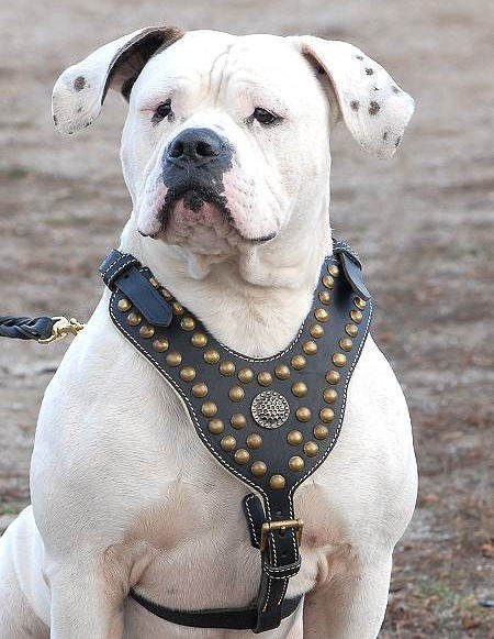 Royal Dog Harness-Exclusive Design Studded Leather Harness-American Bulldog - Click Image to Close