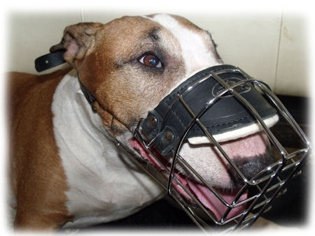 bull terrier muzzle - good fit muzzle for Bull Terrier dog