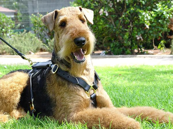 Airedale Terrier wearing leather dog harness