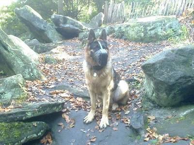 Buy German Shepherd Leather Dog Muzzle Well Ventilated Dog