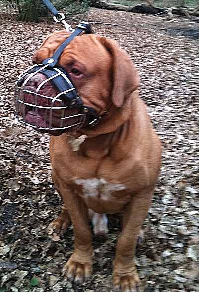 dog muzzle dogue de bordeaux wire muzzle good fit