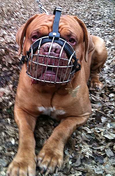 dogue de bordeaux muzzle