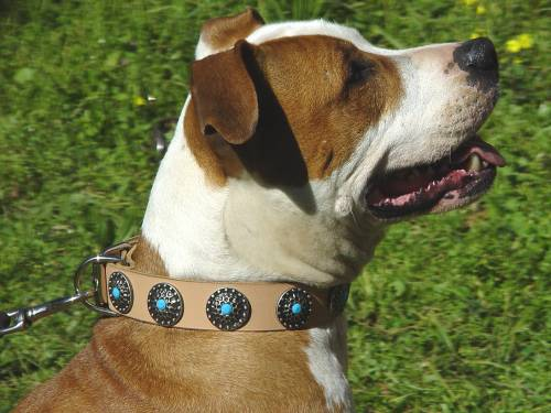 Gorgeous Leather Dog Collar for Amstaff with Stones