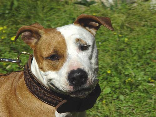 Amstaff Collar with Brass Hardware