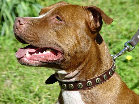 Chic Designed Leather Dog Collar for Fashionable Pitbulls - Click Image to Close