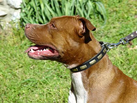 Gorgeous Leather Pitbull Collar - Fashion Exclusive Design - Click Image to Close