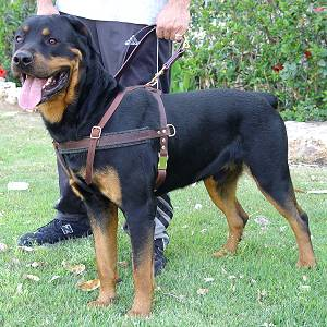 Tracking / Pulling / Agitation Leather Dog Harness For Rottweiler H5