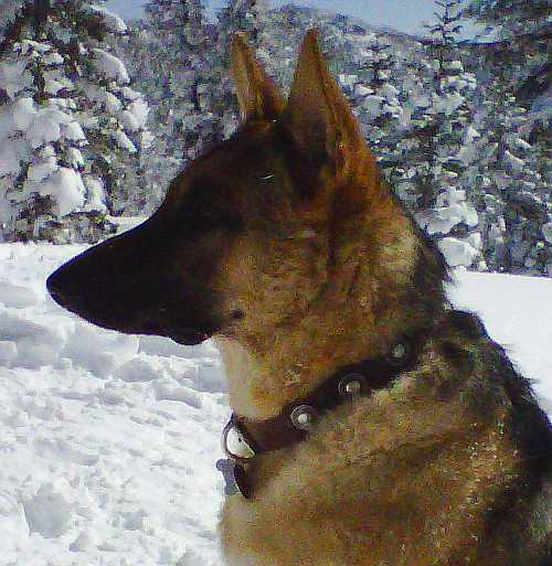 Luca the german shepherd with leather dog collar in brown