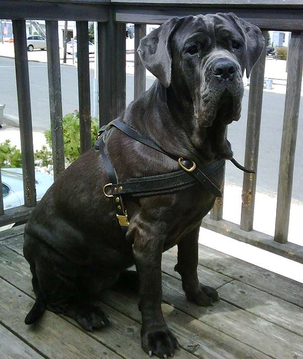 *Neo wearing our exclusive Tracking / Pulling / Agitation Leather Dog Harness For Mastiff H5 - Click Image to Close