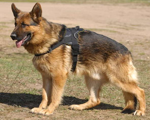 Nylon multi-purpose dog harness for tracking/pulling-Shepherd