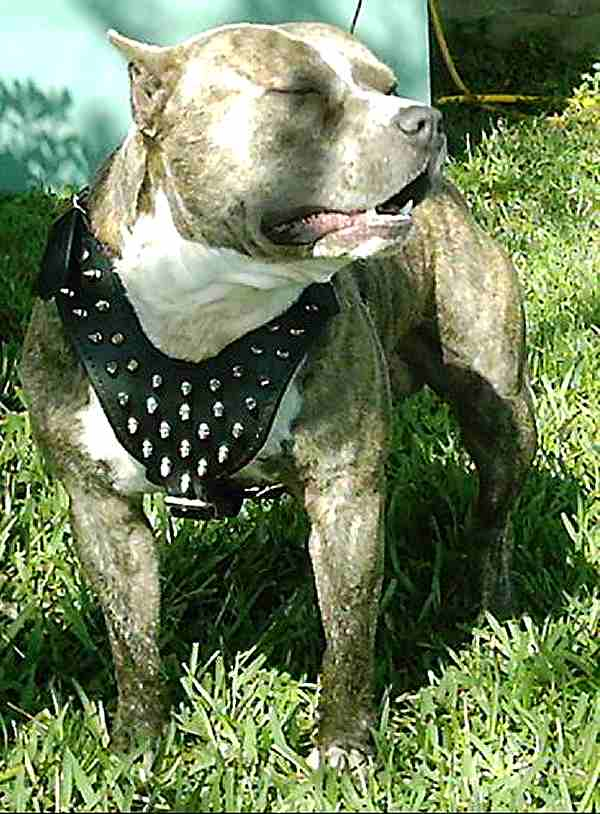 Get Luxury Spiked Harness for Pitbulls