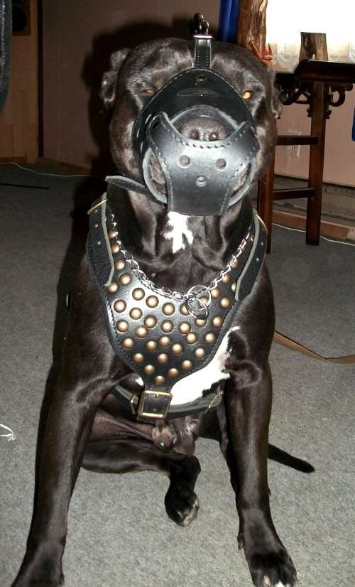 pitbull studded dog harness made of leather and with padding