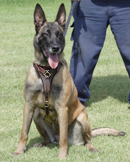 Tracking Walking leather dog harness for Malinois - Click Image to Close