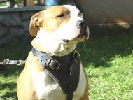 Agitation / Protection / Attack Leather Dog Harness Perfect For Your Amstaff