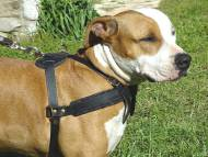 Tracking / Pulling / Agitation Leather Dog Harness For Amstaff H5