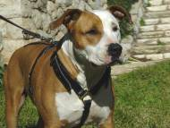 Luxury handcrafted leather dog harness made To Fit Amstaff H7