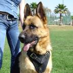 German Shepherd Dog Agitation / Protection / Attack Leather Dog Harness